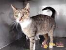 KOTKA PRADA- fantastyczna i miła koteczka szuka domu, adop,