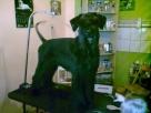 kursy groomerskie, kursy groomingu, kursy strzyżenia psów
