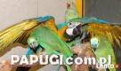 Największy wybór papug!!! - 2
