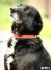KAZAR-znający komendy wyjątkowy pies Dzierżoniów