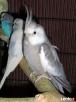 Papugi nimfy piękne kolory - 4