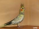 Papugi nimfy piękne kolory - 1