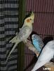 Papugi nimfy piękne kolory - 3
