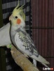 Papugi nimfy piękne kolory - 2