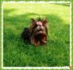 York, yorshire terrier!Krycie!reproduktor-1,20kg-Kraków-mało Kraków