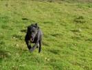 Pako w typie rasy Labrador czeka w schronisku na dom - 2