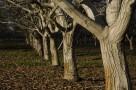 Kupię Drewno Z Orzecha Włoskiego Jabłoni innych Owocowych - 1