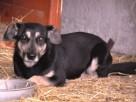MILKUŚ-psiak o zmaltretowanej duszy-młodziak przerażony schr - 2