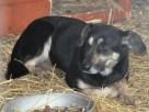 MILKUŚ-psiak o zmaltretowanej duszy-młodziak przerażony schr - 6