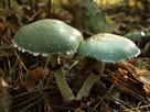 Pierścieniak Mycelium. Grzybnia Biologiczna