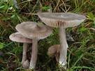 Mycelium. Grzybnia Biologiczna Dzwonkówka tarczowata