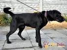 DIABLO-piękny, dorodny czarny labrador-szukamy domu.B.SILNY - 7