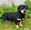 AZOREK - zagubiony, biedny psiak do pilnej adopcji - 3