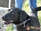 DIABLO-piękny, dorodny czarny labrador-szukamy domu.B.SILNY - 6