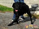DIABLO-piękny, dorodny czarny labrador-szukamy domu.B.SILNY - 2