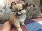 Tanio sprzedam prześliczne szczeniaczki chihuahua POLECAM - 5