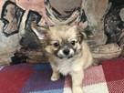 Tanio sprzedam prześliczne szczeniaczki chihuahua POLECAM - 4