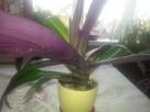 Kwiat doniczkowy reo - 2