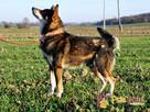 SZARUŚ-wspaniały,przemiły, pogodny psiak-mix husky-szukaDOMU - 5