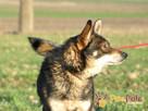 SZARUŚ-wspaniały,przemiły, pogodny psiak-mix husky-szukaDOMU - 2