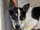 GIENIO-nieśmiały, delikatny,płochliwy mały psiak w łatki-ADOP - 3