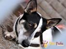 GIENIO-nieśmiały, delikatny,płochliwy mały psiak w łatki-ADOP - 1