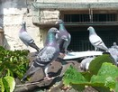 |Gołębie pocztowe