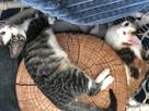 Piękne wesołe i rezolutne kotki czekają na wymarzone domki - 7