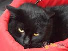 TONIC-spokojny, troszkę nieśmiały, piękny czarny kotek-adopc