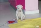 Szczenieta Dogo Argentino,Dog Argentyński Katowice