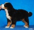 Berneński Pies Pasterski szczenięta - 2