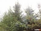 Świerk srebrny choinki świąteczne drzewka Osiecznica
