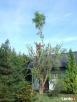 Usuwanie wiatrołomów, wycinka drzew, czyszczenie działek  - 5