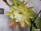 EPIPHYLLUM - egzotyczne- epifilum- kaktus,