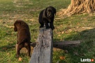 Labrador retriever czarny pies po InterChampionie FCI dowóz Jastrzębie Zdrój