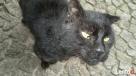 Zaginął czarny kot, klapnięte lewe ucho Żórawina