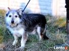TRYSIO-maleńki, spokojny,niekonfliktowy psiak uratowany od z - 6
