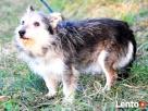 TRYSIO-maleńki, spokojny,niekonfliktowy psiak uratowany od z - 7