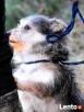 TRYSIO-maleńki, spokojny,niekonfliktowy psiak uratowany od z - 3