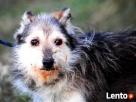 TRYSIO-maleńki, spokojny,niekonfliktowy psiak uratowany od z - 8