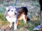 TRYSIO-maleńki, spokojny,niekonfliktowy psiak uratowany od z - 5