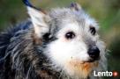 TRYSIO-maleńki, spokojny,niekonfliktowy psiak uratowany od z - 1
