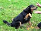 MIŚ-niewielki, prze-kochany, grzeczny wesoły psiak-adopcja - 6