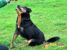 MIŚ-niewielki, prze-kochany, grzeczny wesoły psiak-adopcja - 4