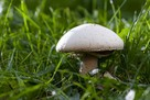 Pieczarka łąkowa Mycelium.Grzybnia Biologiczna - 1