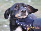 COVEREK-niewielki psiak w typie jamnika po wypadku, adopcja