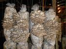 Grzybnia Boczniak uprawa w Domu 7 kg BALOT - 2