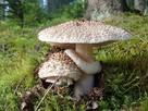 Muchomor czerwieniejący Mycelium.Grzybnia Biologiczna - 1