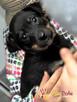 ŁAZIK-kochany, piękny, przemiły szczeniaczek-10 tygodni-adop - 6