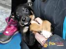 ŁAZIK-kochany, piękny, przemiły szczeniaczek-10 tygodni-adop - 8